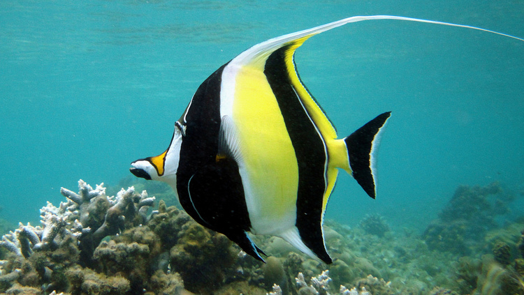 Moorish Idol Alchetron The Free Social Encyclopedia