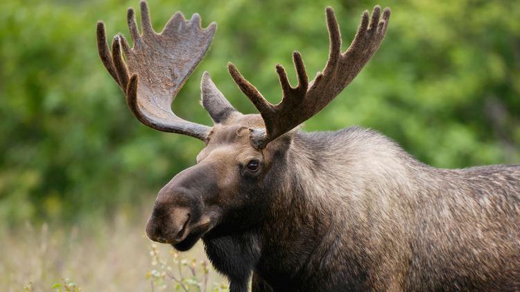 Moose Salt even roadsalt is an integral part of the moose diet