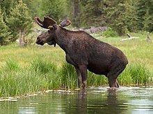 Moose httpsuploadwikimediaorgwikipediacommonsthu