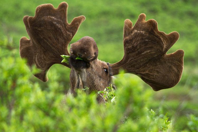 Moose Moose Alces alces NatureWorks