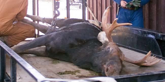 Moose Hunters movie scenes A moose must be eviscerated Then it must be taken to a VT state weighing station Hunters cannot leave dead animals in the bush They must either cut it up