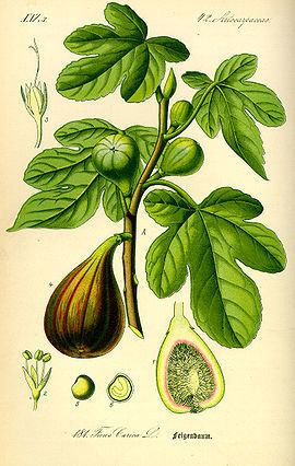 Moraceae Moraceae Wikipedia