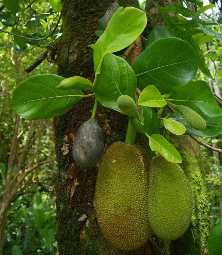 Moraceae Moraceae species list Mulberry family or Fig of Hawaii Tropical