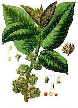 Moraceae httpsuploadwikimediaorgwikipediacommonsthu