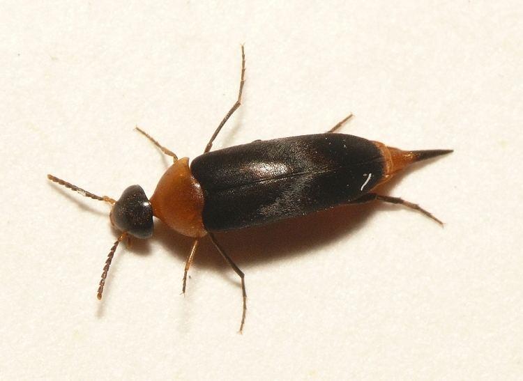 Mordellochroa abdominalis httpsuploadwikimediaorgwikipediacommonsff