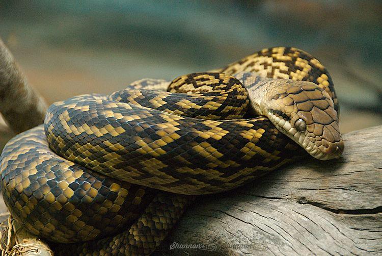 Morelia amethistina Scrub Python Morelia amethistina kinghorni Shannon Wild