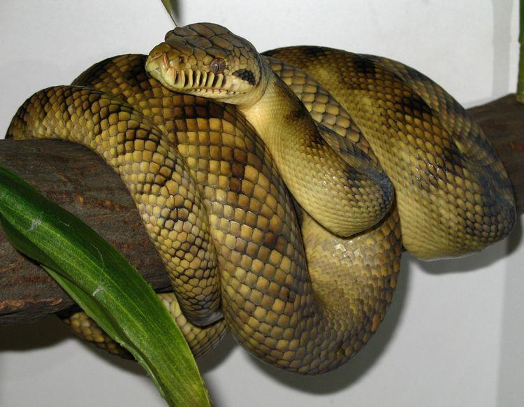 Morelia amethistina httpsuploadwikimediaorgwikipediacommonsdd