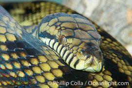 Morelia amethistina Amethystine Python Photos Stock Photos of Amethystine Pythons