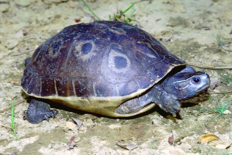 Morenia Tortoise and Freshwater Turtle Specialist Group