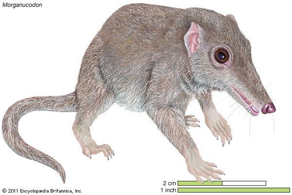 Morganucodon Morganucodon extinct mammal genus Britannicacom
