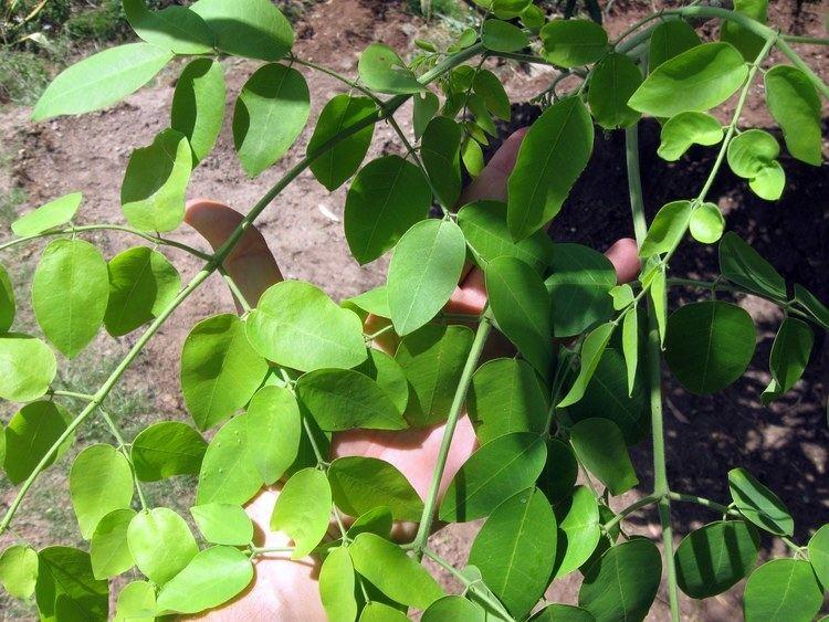 Moringa stenopetala Moringa stenopetala Images Useful Tropical Plants