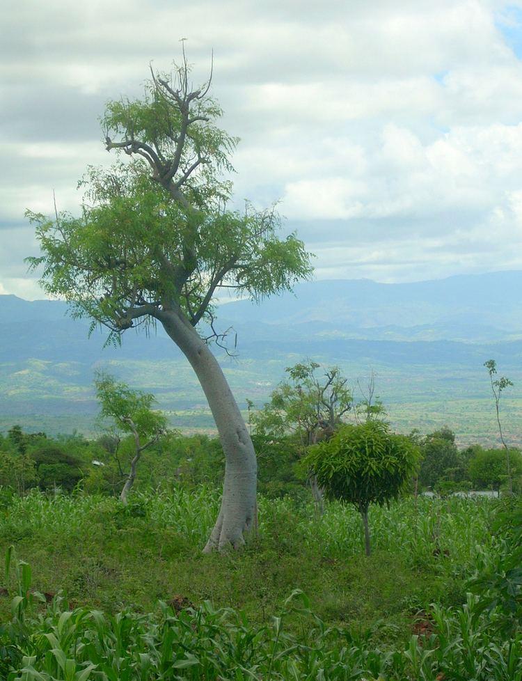 Moringa stenopetala SETHiopia Tree Profile Moringa Stenopetala