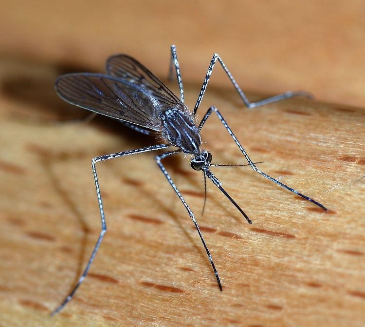 Mosquito Mosquito Wikipedia