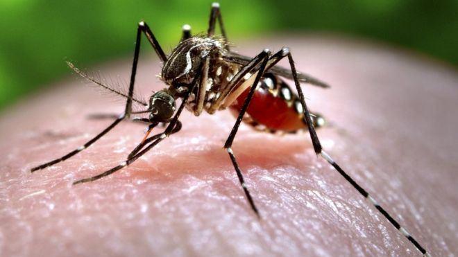 Mosquito Zika outbreak The mosquito menace BBC News