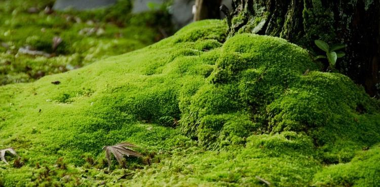 Moss What39s behind Japan39s moss obsession