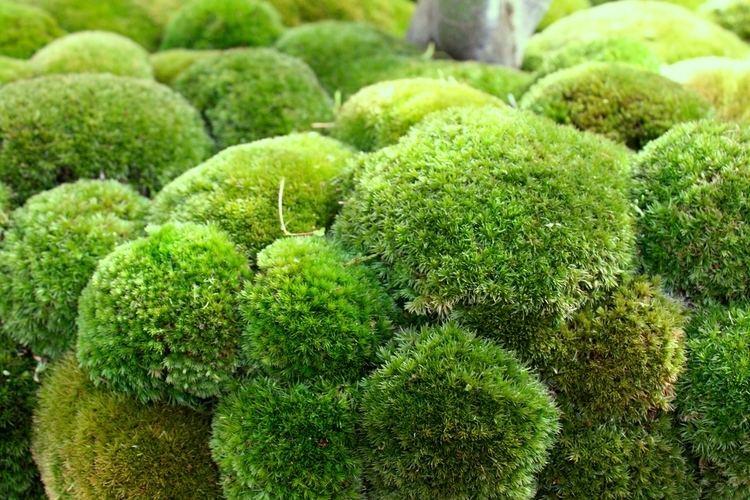 Sphagnum cristatum moss asexual reproduction