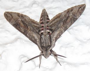 Moth Moth Wikipedia