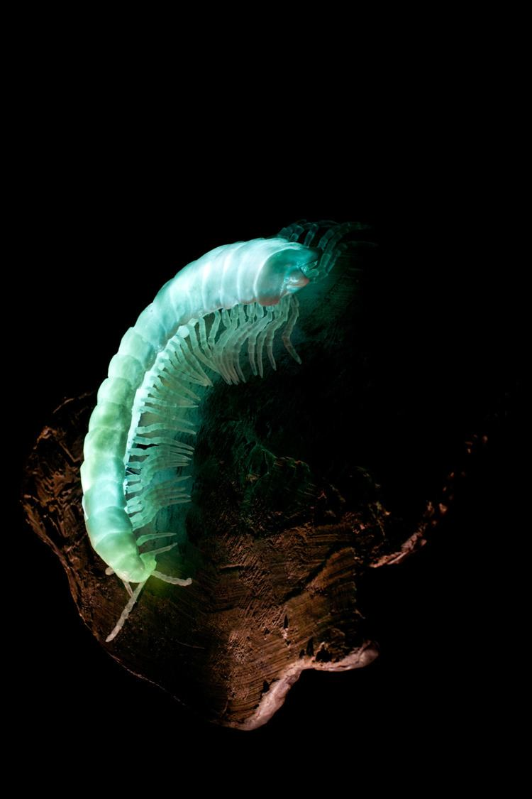Motyxia Motyxia sequoiae or the Sierra luminous millipede is endemic to