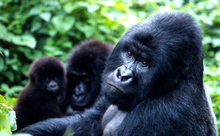 Mountain gorilla Mountain gorilla population grows WWF