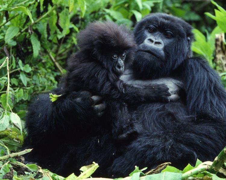 Mountain gorilla Mountain Gorilla African Wildlife Foundation