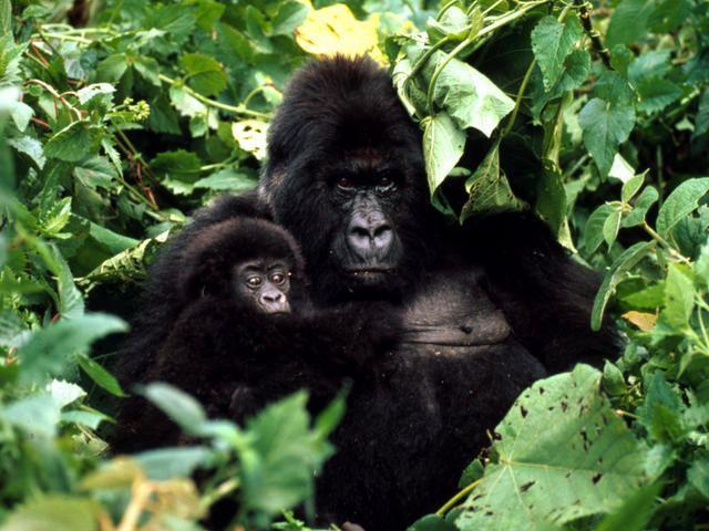 Mountain gorilla Mountain Gorilla Gorillas WWF