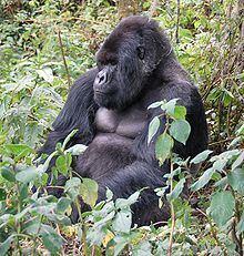 Mountain gorilla Mountain gorilla Wikipedia