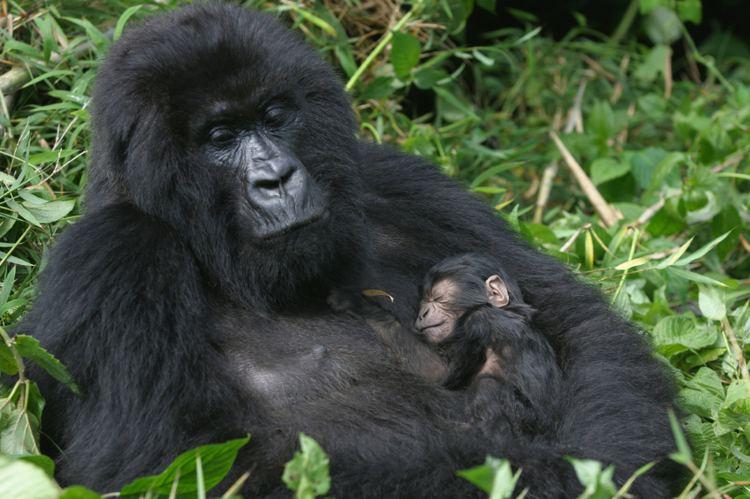Mountain gorilla Mountain Gorilla Facts Endangered Animals