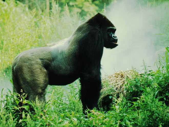 Mountain gorilla httpsc402277sslcf1rackcdncomphotos265ima