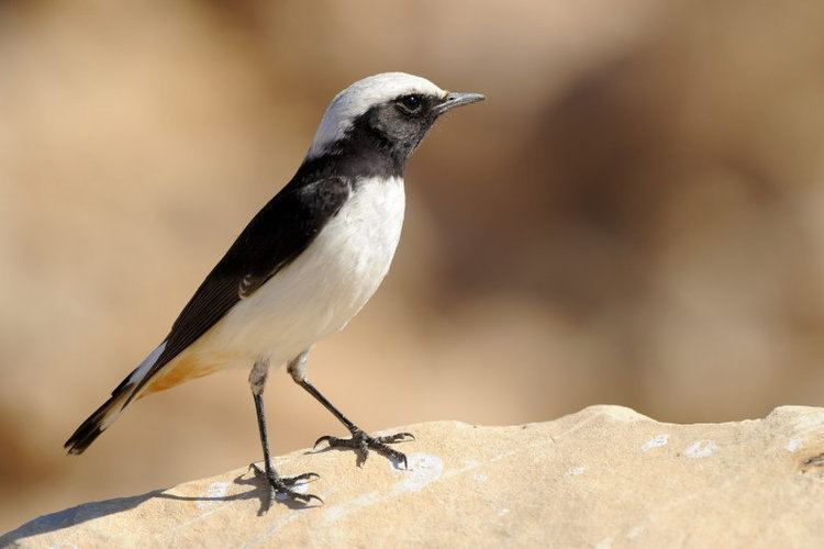 Mourning wheatear Mourning Wheatear Photo Gallery by efifirst at pbasecom