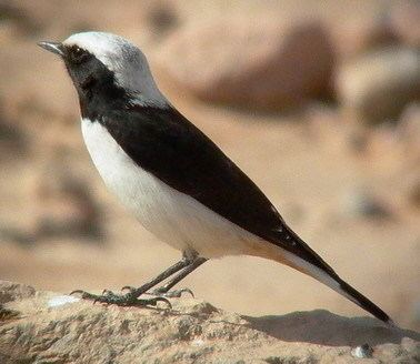 Mourning wheatear Surfbirds Online Photo Gallery Search Results