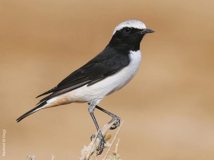 Mourning wheatear wwwkuwaitbirdsorgsitesdefaultfilesstyleslar