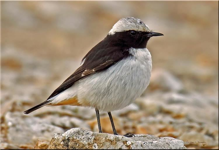 Mourning wheatear Photos of Mourning Wheatear Oenanthe lugens the Internet Bird