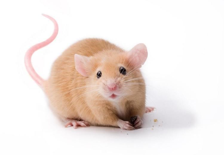 Mouse 1000 images about Mice on Pinterest Sleeping beauty Pet food and