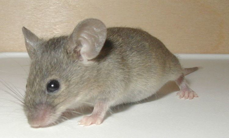 Mouse Mouse Apodemus Sylvaticus Animals AZ Animals