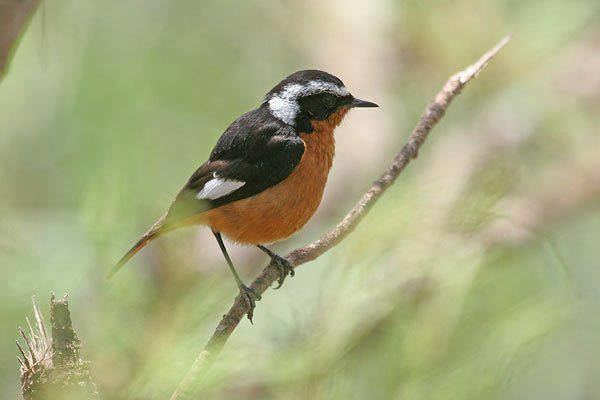 Moussier's redstart Surfbirds Online Photo Gallery Search Results