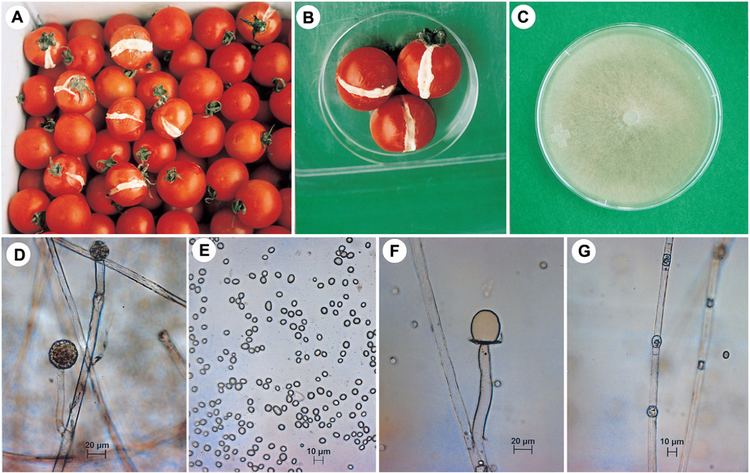Mucor racemosus Soft Rot of Tomato Caused by Mucor racemosus in Korea