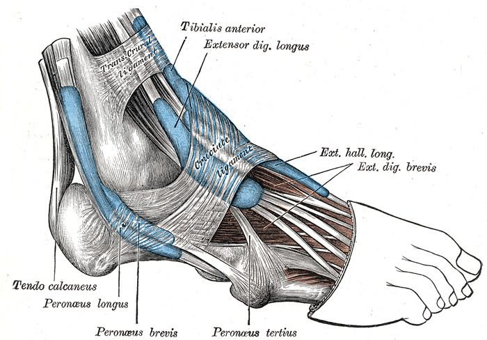 Mucous sheaths of the tendons around the ankle