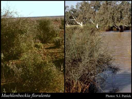 Muehlenbeckia florulenta Muehlenbeckia florulenta Meisn FloraBase Flora of Western Australia