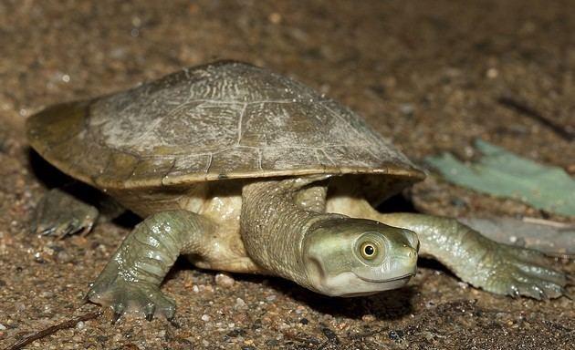 Murray River turtle epyimgcomayyhst33477391359232murrayrivertu
