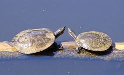 Murray River turtle Murray River turtle Wikipedia