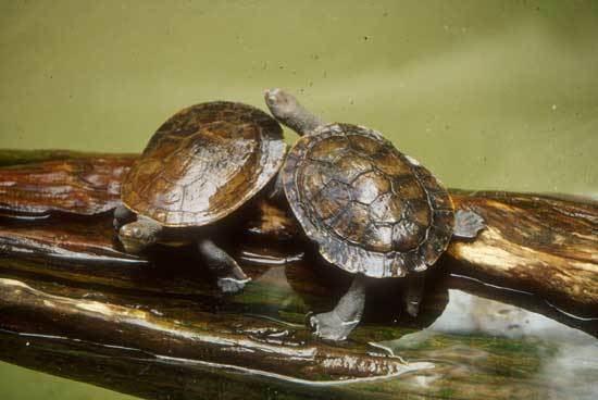 Murray River turtle Murray River Turtle Saint Louis Zoo