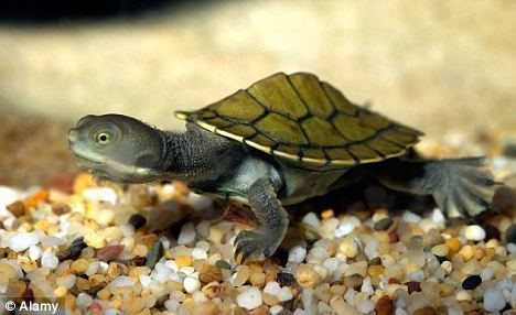 Murray River turtle Turtles 39communicate39 before they hatch so they emerge from their