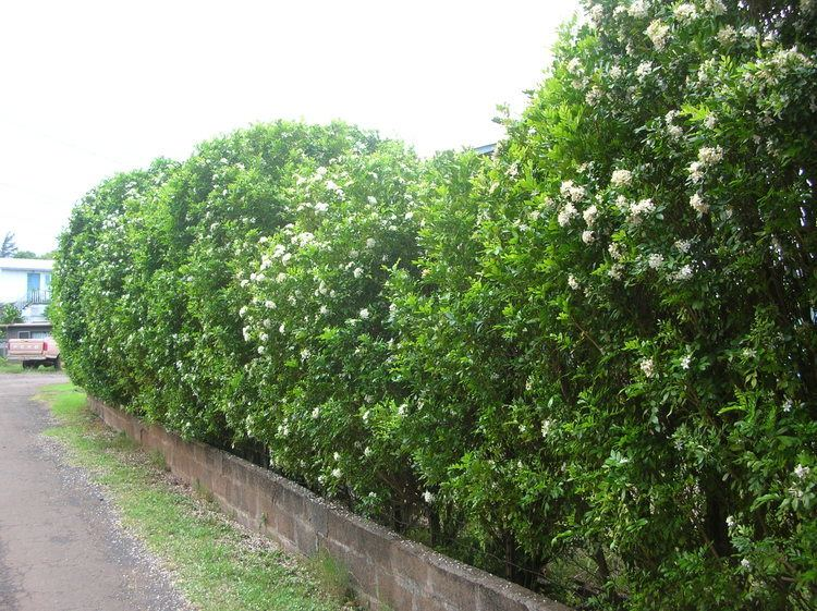 Murraya Paniculata Alchetron The Free Social Encyclopedia