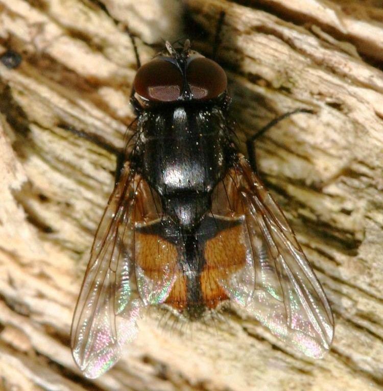 Musca autumnalis Face Fly Musca autumnalis NatureSpot
