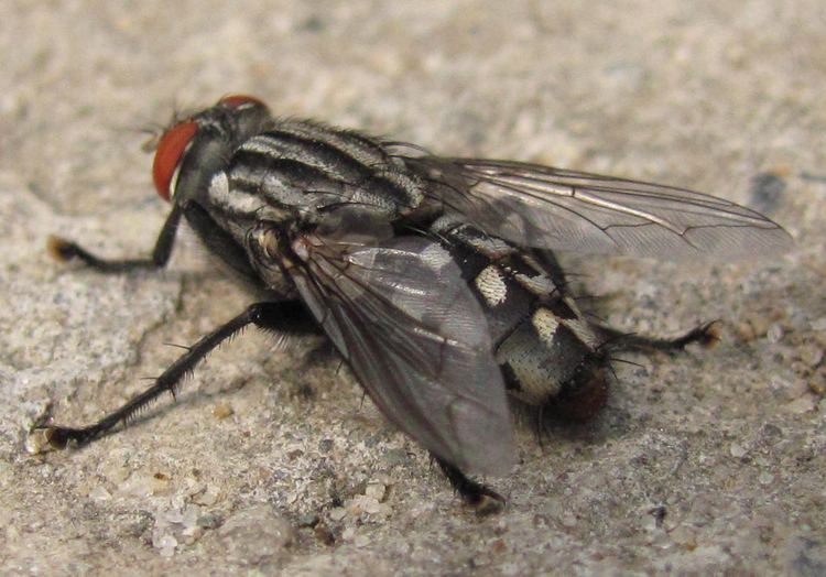 Musca autumnalis Face Fly Facts amp Control Get Rid of Face Flies