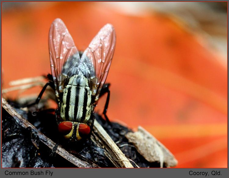 Musca vetustissima Comon Bush Fly Musca vetustissima Cooroy Qld Flickr