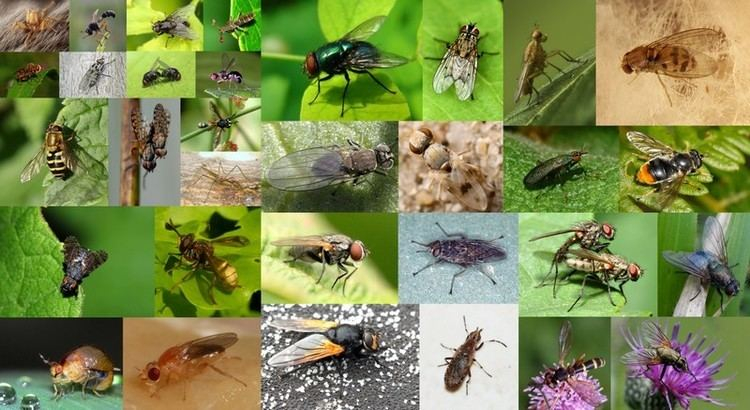 Muscomorpha httpsuploadwikimediaorgwikipediacommonsee