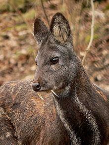 Musk deer Musk deer Wikipedia