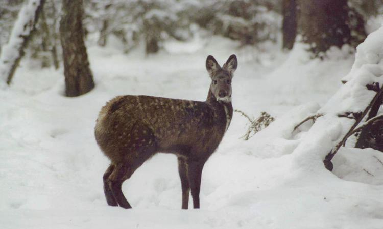 Musk deer Musk Deer Pages WWF