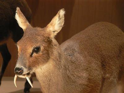 Musk deer Sandwalk Are You Sexually Attracted to Male Musk Deer